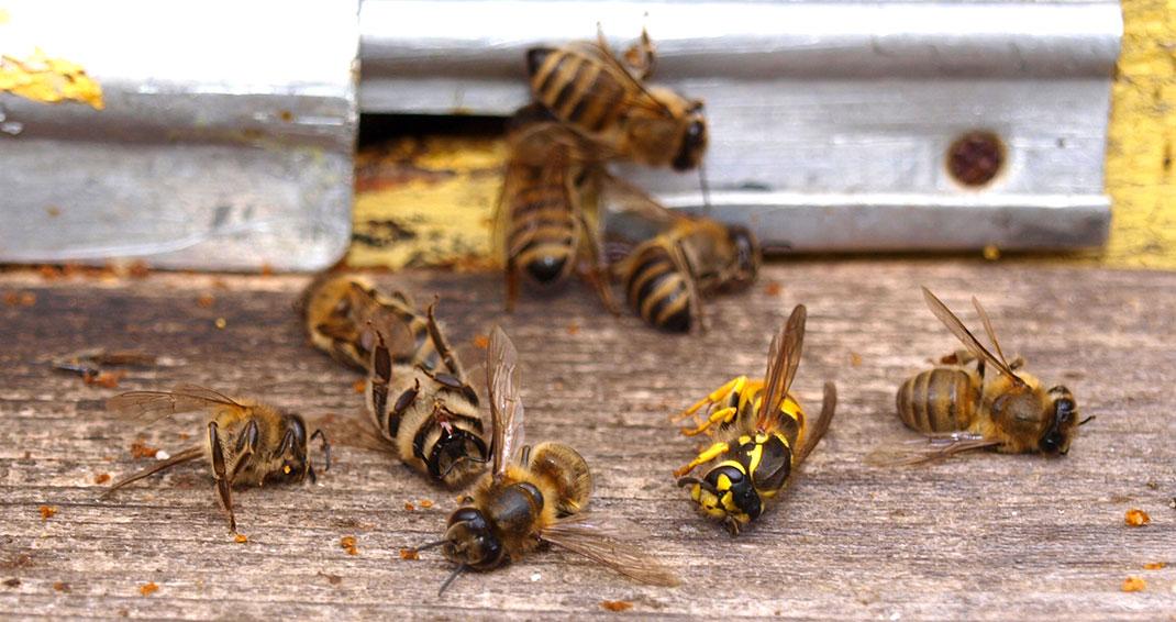 7-abeilles-guepe
