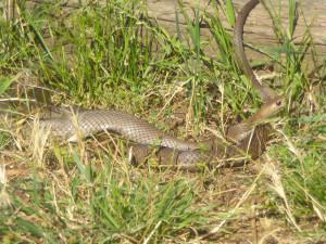 Serpent-brun-2