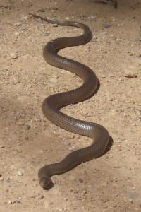 Serpentbrun