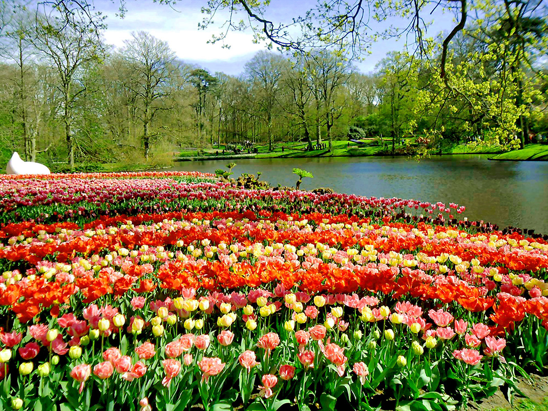 Tulipes-Hollande-15