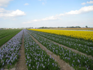 Tulipes-hollande-10