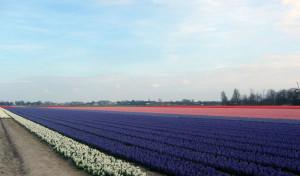 Tulipes-hollande-11