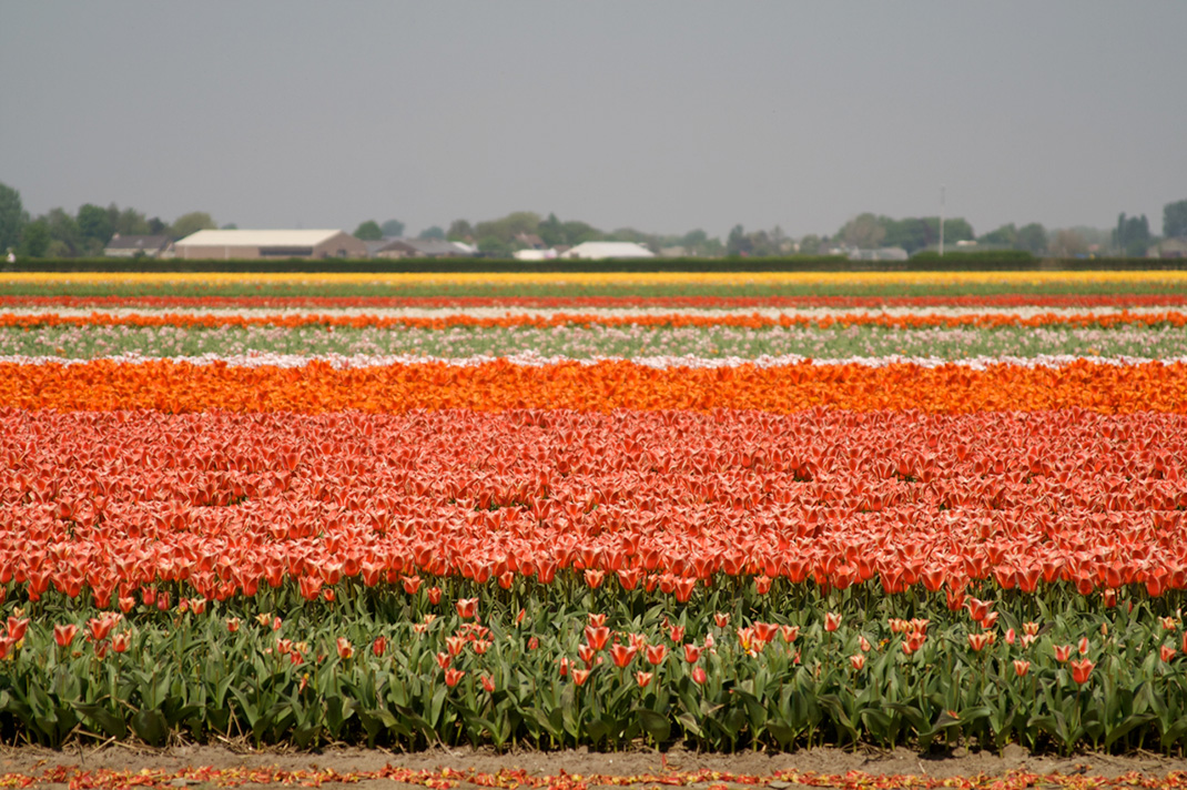 Tulipes-hollande-12