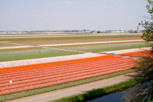 Tulipes-hollande-13