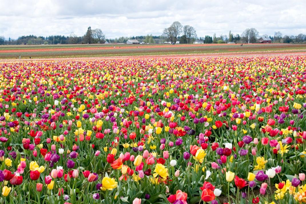 Tulipes-hollande-14