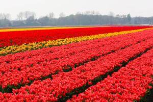 Tulipes-hollande-6