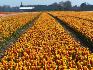 Tulipes-hollande-8