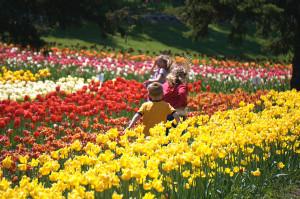 Tulipes-hollande-9