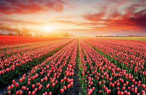 Tulipes-hollande-shutterstock-16