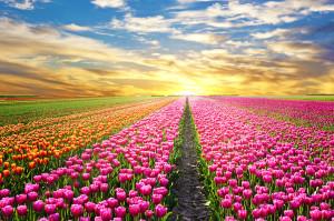 Tulipes-hollande-shutterstock-4