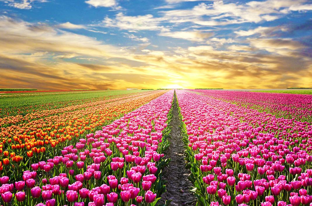 Tulipes-hollande-shutterstock-4.jpg
