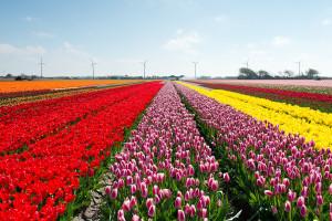 Tulipes-hollande-shutterstock-5