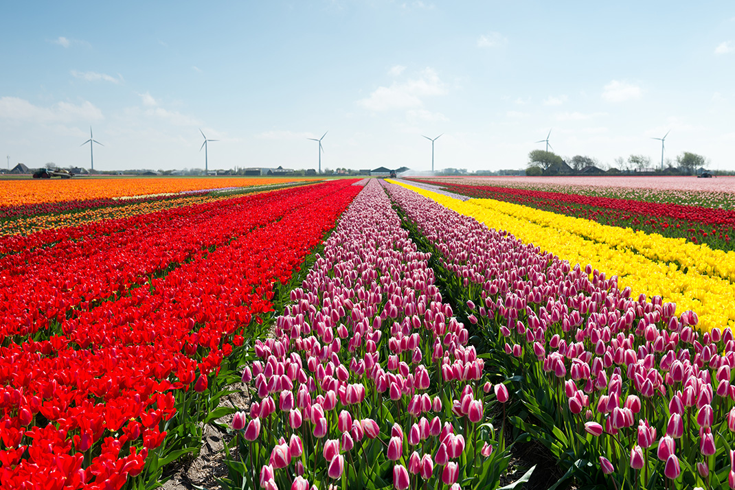 Tulipes-hollande-shutterstock-5