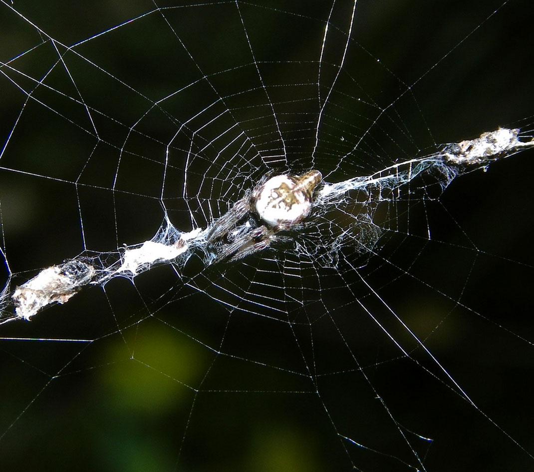 araignee-detritus