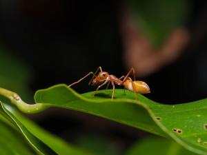 araignee-fourmis