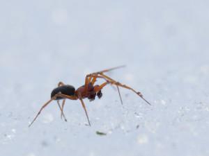 araignee-neige