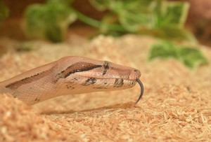 emperor-snake-serpent