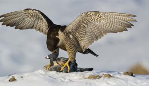 faucon-proie