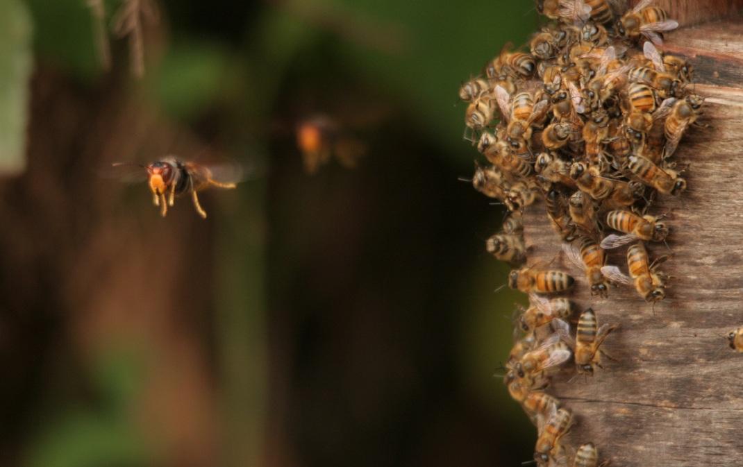 face l invasion meurtri re du frelon asiatique nos abeilles fran aises ont mis au point une. Black Bedroom Furniture Sets. Home Design Ideas