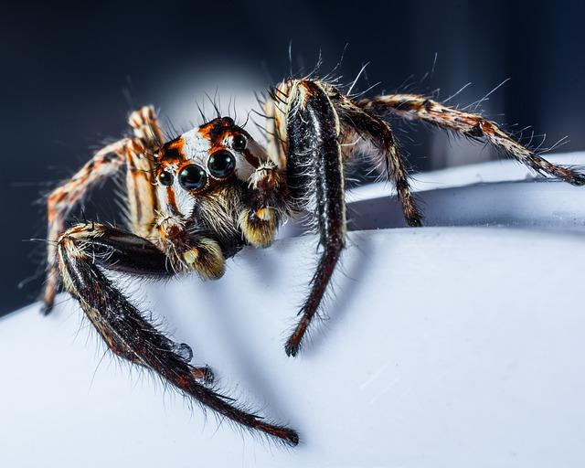 jumping-spider-araignée-sauteuse