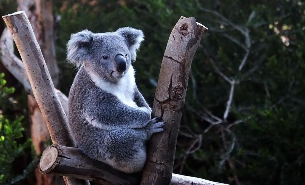 koala-5