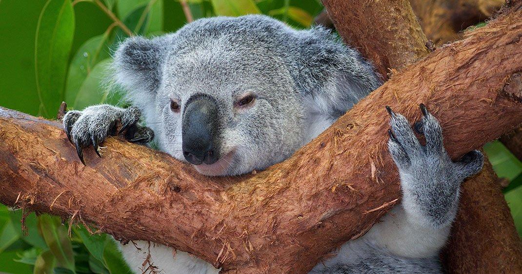 koalas-une-1
