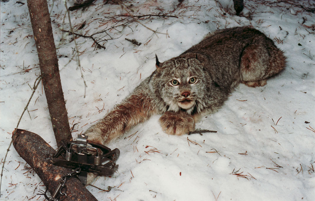 piege-lynx