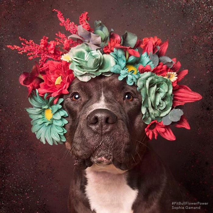 Un Pitbull couronné de fleurs