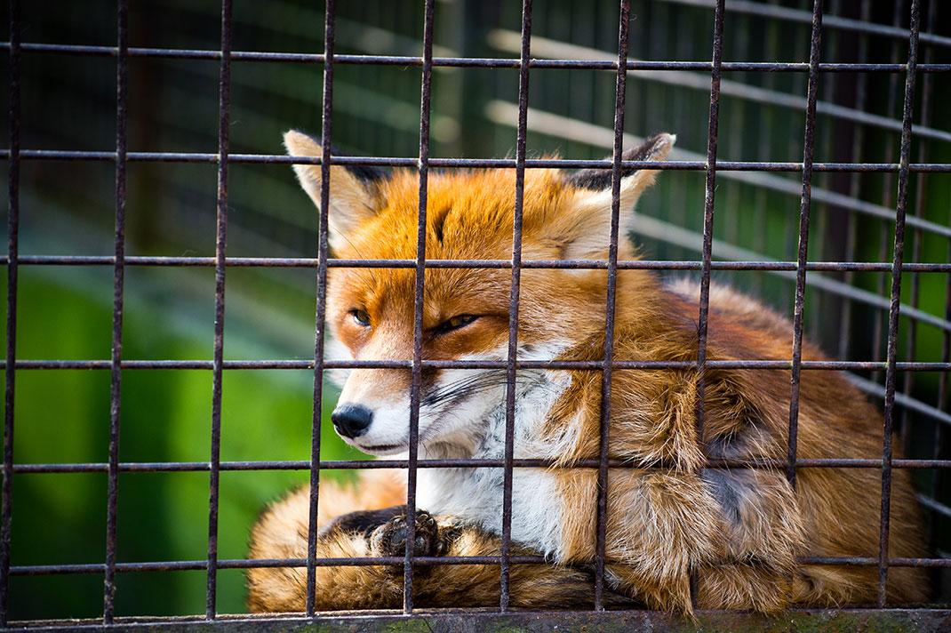 renard-cage