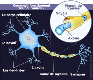 schema-neuronnes
