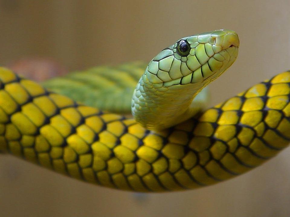 snake-serpent-vert