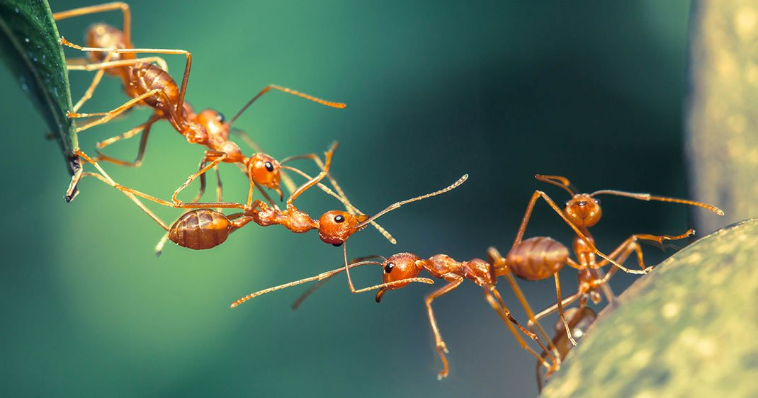 D couvrez comment les fourmis transmettent leur savoir faire de g n ration en g n ration pour - Comment eradiquer les fourmis ...