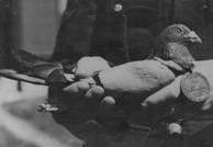 Kenley-Lass-Pigeon