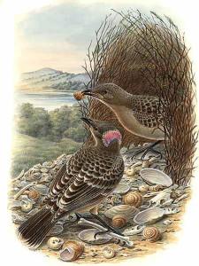 Oiseau-jardinier-male-femelle-10