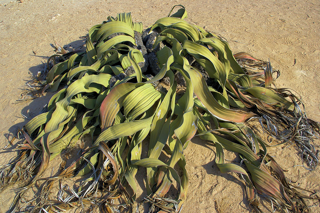 Welwitschia-mirabilis