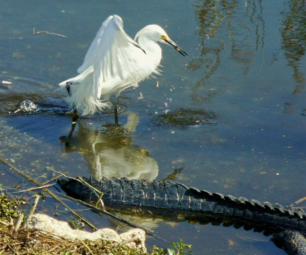 aigrette-blanc-alligator-8