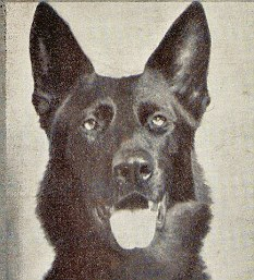 Jet: HAVE ASKED PDSA AND WAR MUSEUM TO HELP - BUT SEVERAL PIX (AND A CANVAS) COME UP IN GOOGLE IMAGES Alsatian. Jet of Iada, to give him his full pedigree, was born in Liverpool to celebrated breeder Mrs Babcock Cleaver. he attended 'war dog' school in Gloucester from the age of nine months and was initially stationed in Northern Ireland, later distinguishing himself in anti-sabotage work for the government. When he was rebased in London, he became one of the most successful rescue dogs of the war, called out every night until the end of the air attacks on the capital. His sleek black coat also made him among the most familiar. Greatest triumph was to convince rescuers that someone was still alive high in the wreckage of a bombed hotel, even though they were certain everyone had been evacuated. he stayed put for more than 11 hours before directing a specialist team up ladders to the exact spot where the woman was trapped.