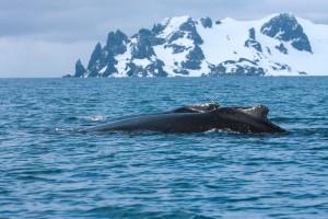 cachalot-antartique