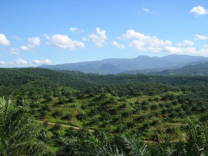 deforestation-palmiers