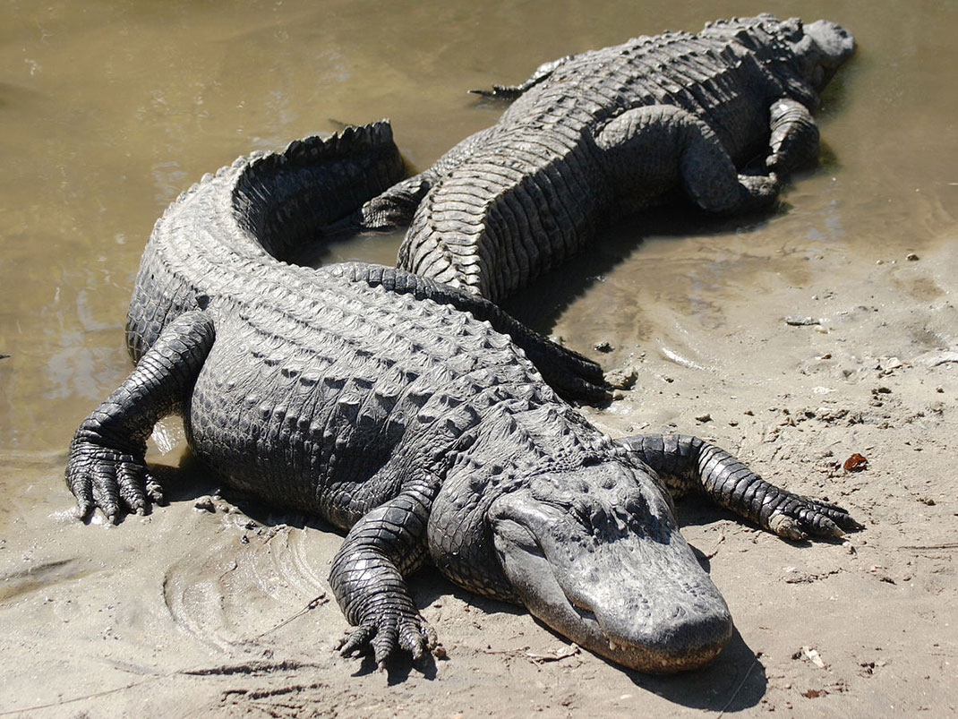 deux_alligators_4