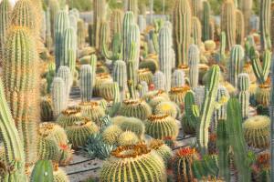 differents-cactus
