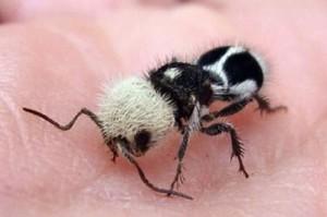 fourmis-panda