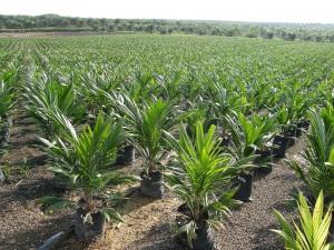 huile-palme-culture