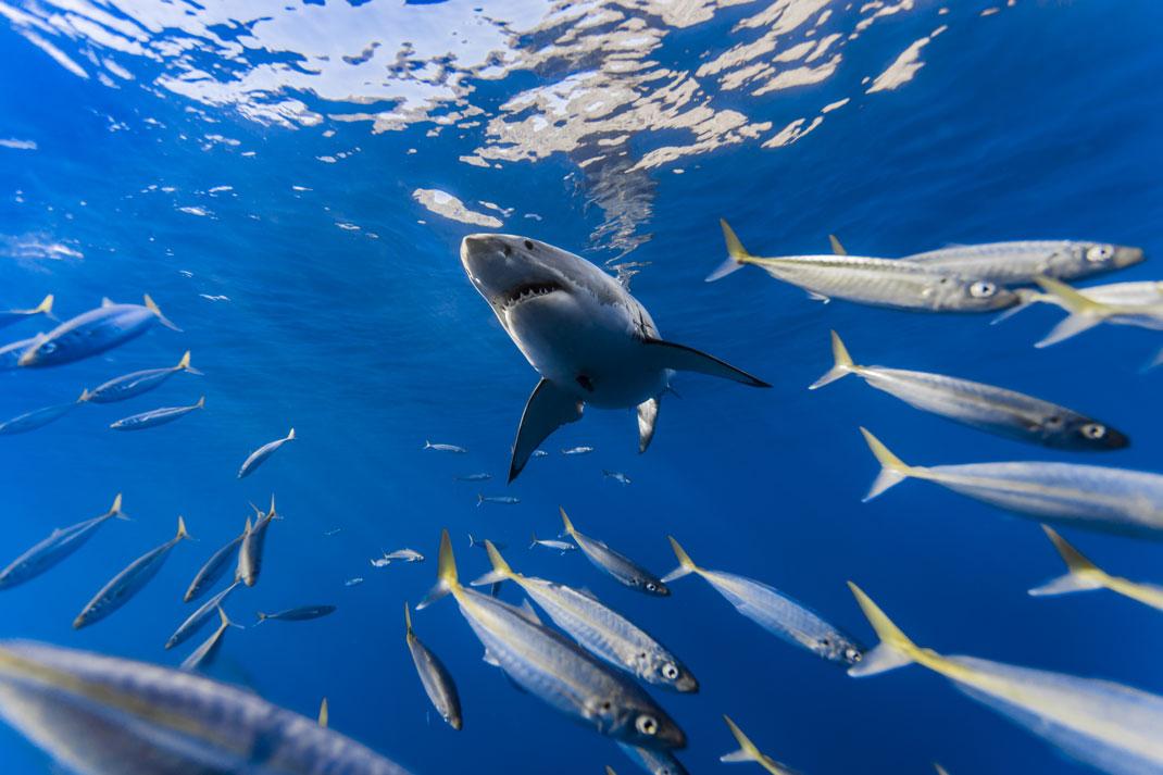 image-semaine-requin-blanc-1