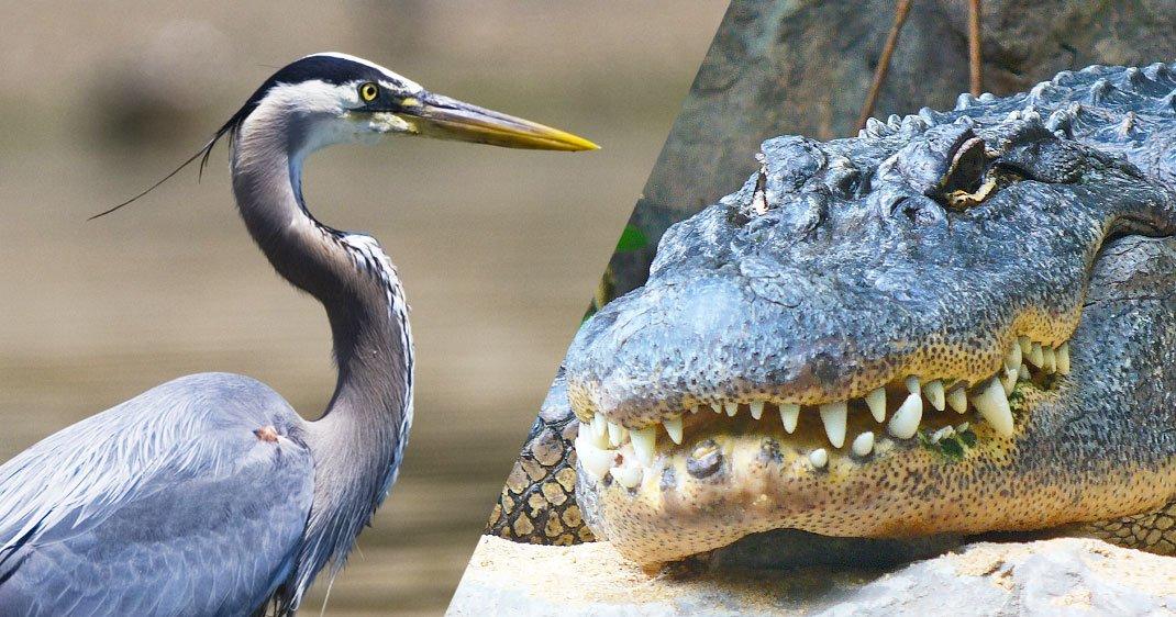 oiseaux-echassiers-alligators-une