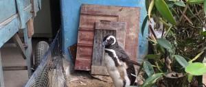 pingouin-sauveur-amitie4