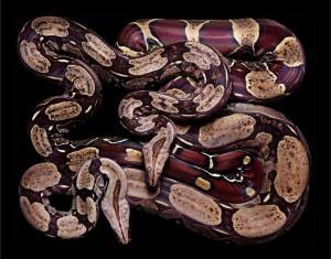 serpent-5