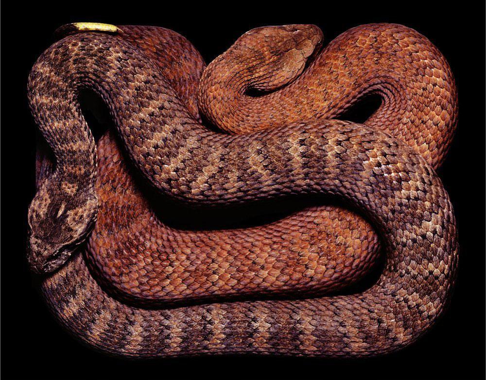 serpent-8