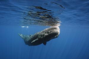 sperm-whale