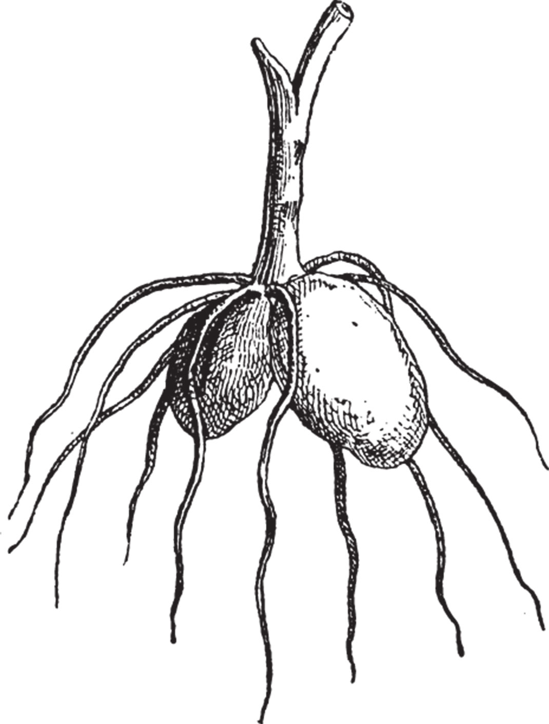 tubercule-orchidée